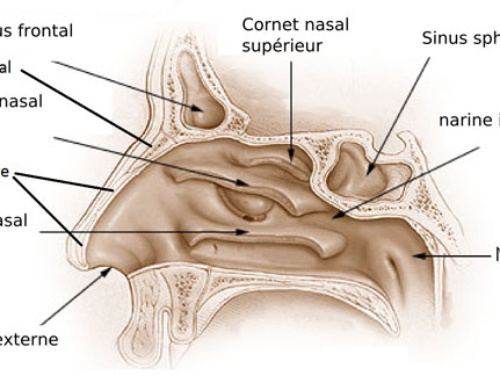 Anatomie du nez : en savoir plus